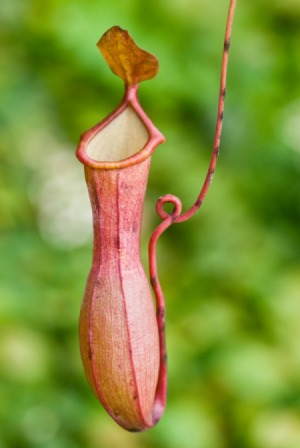 nepenthes_ventricosa_pitcher_plant_s1