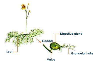 utricularia-digestive-parts